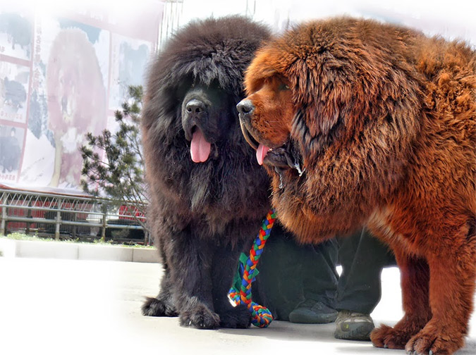 213d99b42beb Θιβετιανό Μαστίφ  Ο σκύλος που πουλήθηκε στην τιμή-ρεκόρ του 1